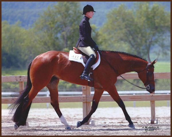 KS Com '14. Quarter Horse Hunter Under Saddle Superior hunter under saddle