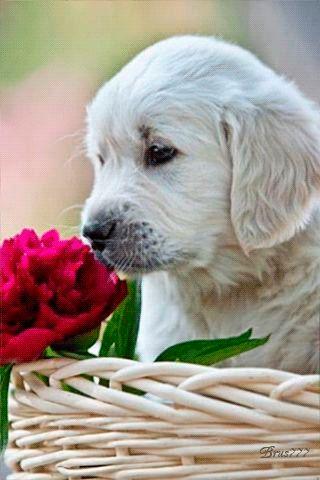 Ver imagen de tierno perrito junto a rosa roja con movimiento