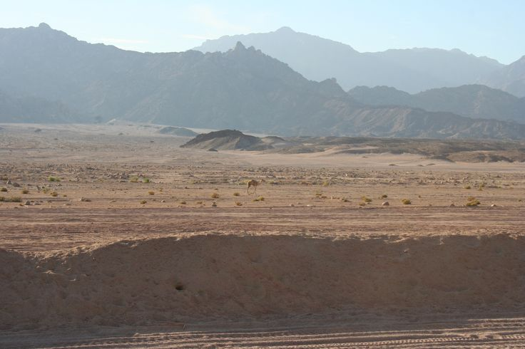 Young Camel in Sharm el Sheikh desert, Egypt