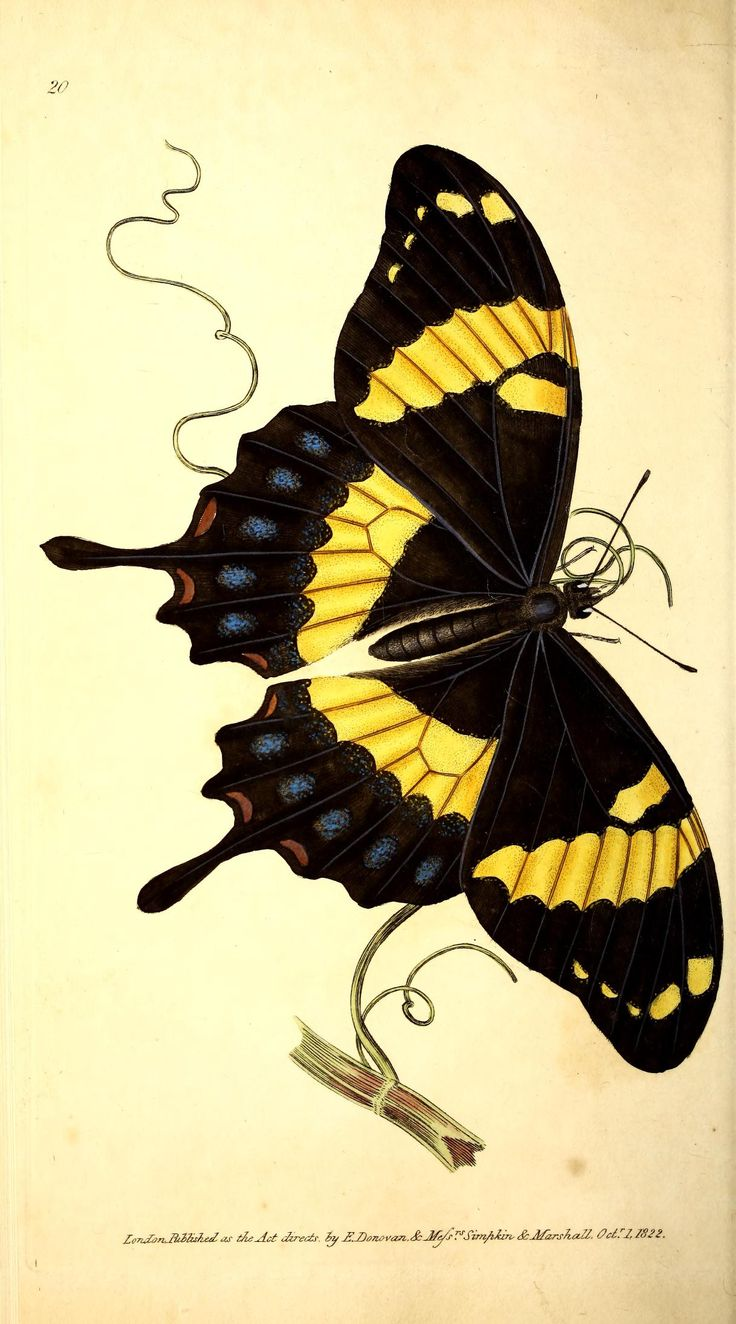 Clipart butterfly 3 butterfly images clip art 1920 1600 jpeg - The Naturalist S Repository Or Monthly Miscellany Of Exotic Natural History Biodiversity Heritage Library 609 X 1095