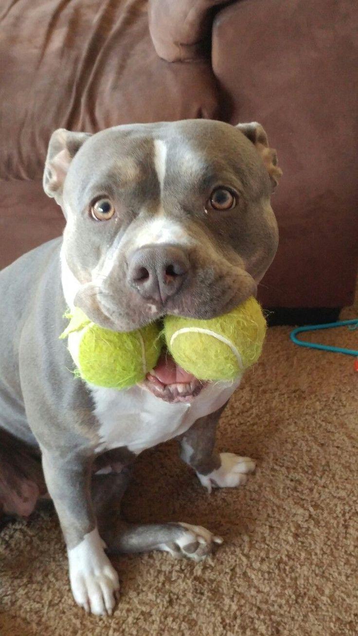 Pitbull Dog For Sale Ireland