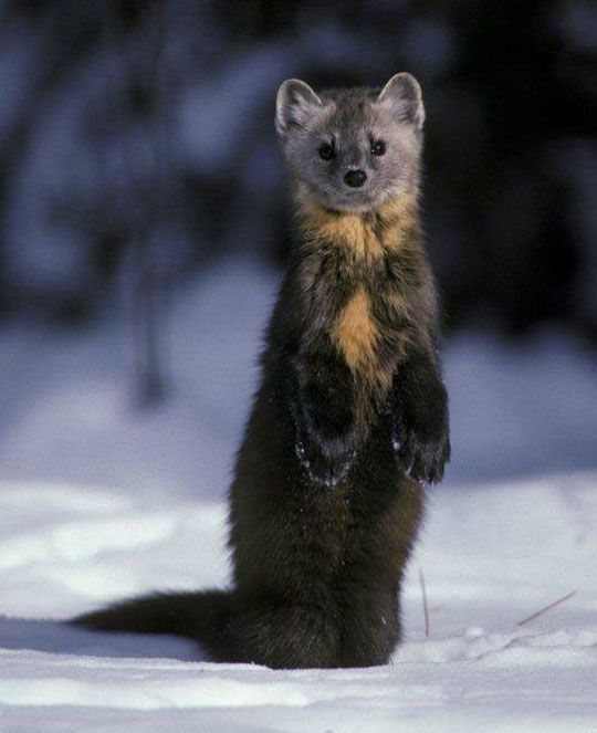 pine marten. Ohh I want to trap one!!!