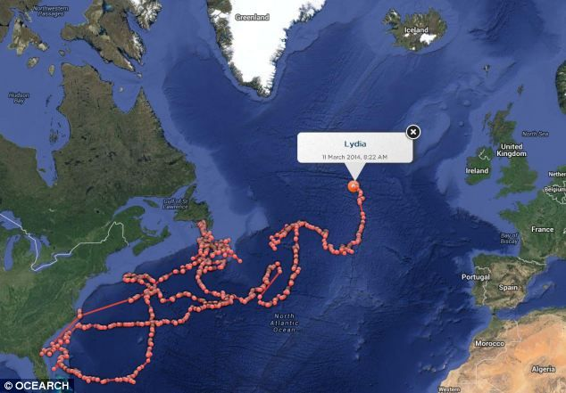Is Lydia the great white shark PREGNANT? Tagged fish may be looking for a 'nursery' in the Mediterranean.  Record breaker: The deadly predator has become the first tagged shark of its species to cross the Mid Atlantic Ridge, an enormous underwater mountain range under the ocean. She is currently swimming to the west (pictured)
