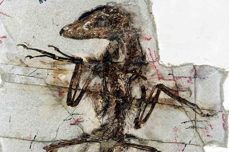 So, paleontologists are beginning to think that actually most dinosaurs had feathers, not just archeaopterix & co. They were huge chickens... right in the childhood :'(