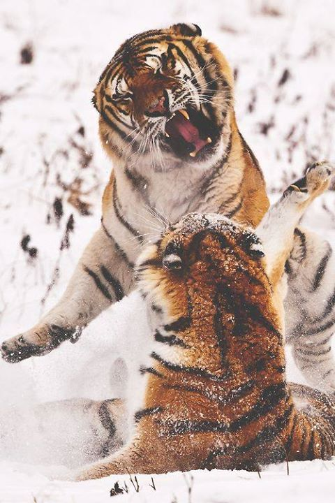 Life's Best #sex #time #between #tigers #lol