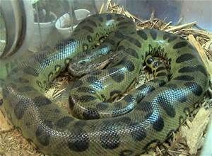 Pictures Giant Anaconda Snake - Bing Images