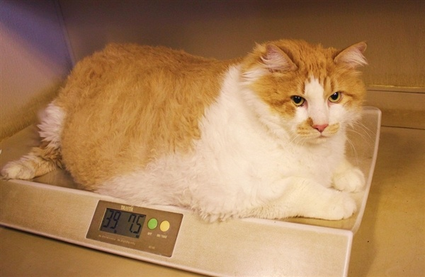 Well, he's living up to his namesake. - At 40 pounds, Garfield is newest fat cat on Internet - Animal Tracks