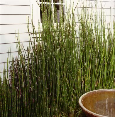 How to Grow Horsetail