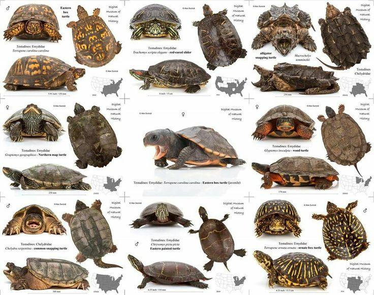 ♥ Pet Turtle ♥  Turtles.