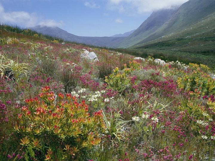 Photograph of Cape fynbos by Ameda Jones