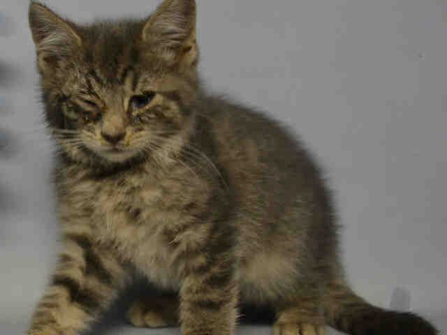 ANDY - A1098025 - - Manhattan  Please Share:***TO BE DESTROYED 12/01/16***  ANDY IS A 7 WEEK OLD KITTEN WITH CONJUNCTIVITIS AND COLD AND NEEDS A FOSTER BY NOON TO BE SAVED. -  Click for info & Current Status: http://nyccats.urgentpodr.org/andy-a1098025/