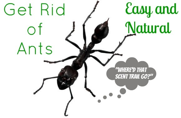 how to get rid of ants with vinegar