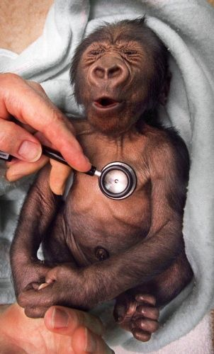 love it!Children Hospitals, Ohthat Cold, Animal Kingdom, Neil Campbell, Melbourne Zoos, Funny Stuff, Funny Photos, Cold Stethoscope, Baby Gorilla