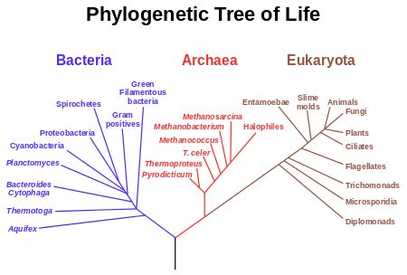 A speculatively rooted tree for rRNA genes, showing major branches Bacteria, Archaea, and Eukaryota