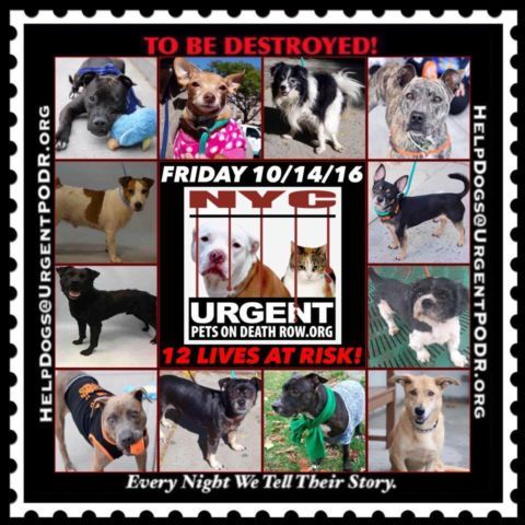 "***12 BEAUTIFUL LIVES TO BE DESTROYED 10/14/16 @ NYC ACC. *SO MANY GREAT DOGS HAVE BEEN KILLED: Puppies, Throw Away Mamas, Good Family Dogs. This is a HIGH KILL ""CARE CENTER"" w/ POOR LIVING CONDITIONS. Please Share!"
