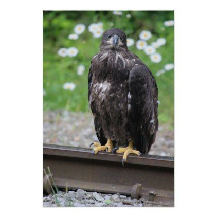 KMCphoto Juvenile Bald Eagle Resting on RR tracks Poster - decor gifts diy home & living cyo giftidea
