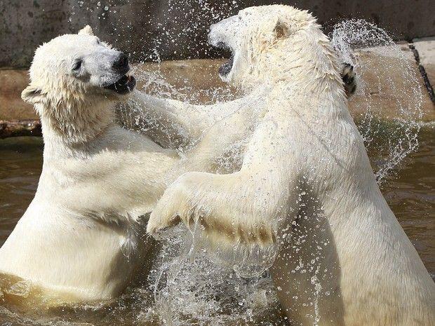 Ursos polares oram flagrados em cena que lembrava 'brincadeira de criança' (Foto: Czarek Sokolowski/AP)