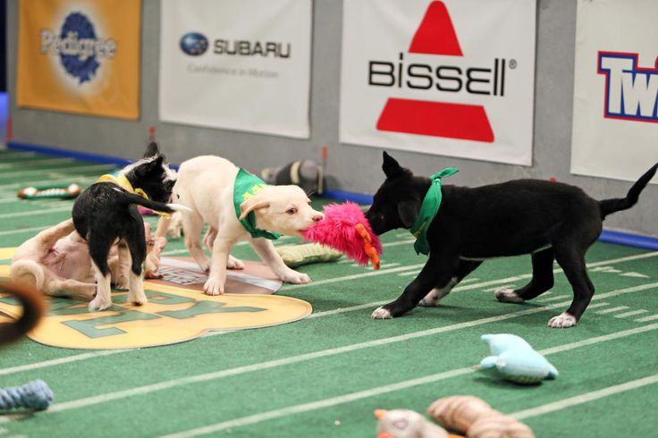 Special Needs Stars of the Puppy Bowl http://thebark.com/content/special-needs-stars-puppy-bowl?utm_campaign=crowdfire&utm_content=crowdfire&utm_medium=social&utm_source=pinterest  #puppybowl  #puppylove #puppies #puppiesofinstagram #puppylove #puppy #pup