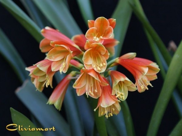 Buy Clivia Plants & Seeds for Sale From Clivia USA | Home ...