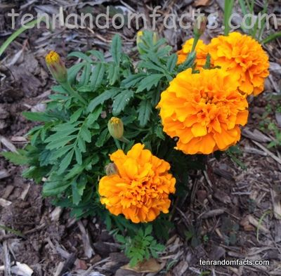 Tagetes - Tagetes can be used in food flavourings or in tobacco, and can have oil extracted from them, which is called 'Tagetes oil', 'tagette oil' or 'marigold oil', that can be used in perfume. The facts at http://tenrandomfacts.com/tagetes/ are golden. ‪#‎marigolds‬ ‪#‎tagetes‬ ‪#‎plant‬ ‪#‎flower‬ ‪#‎perfume‬ ‪#‎oil‬ ‪#‎random‬ ‪#‎facts‬ ‪#‎trivia‬