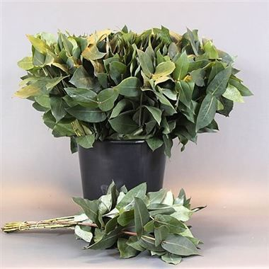 Eucalyptus Robusta (short) are available at wholesale prices & direct UK delivery. Plan for your upcoming wedding or event now with Triangle Nursery | Browse our range of green wedding & event flowers |