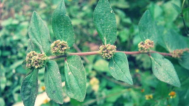 Euphorbia hirta benefits to treat dry eczema, wet eczema, acne, glaucoma, asthma, and bronchitis. Anti-inflammatory, diuretic, anti pruritic