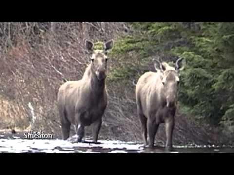 """Quick Clip"" ""Moose At Shoal Cove Pond"""