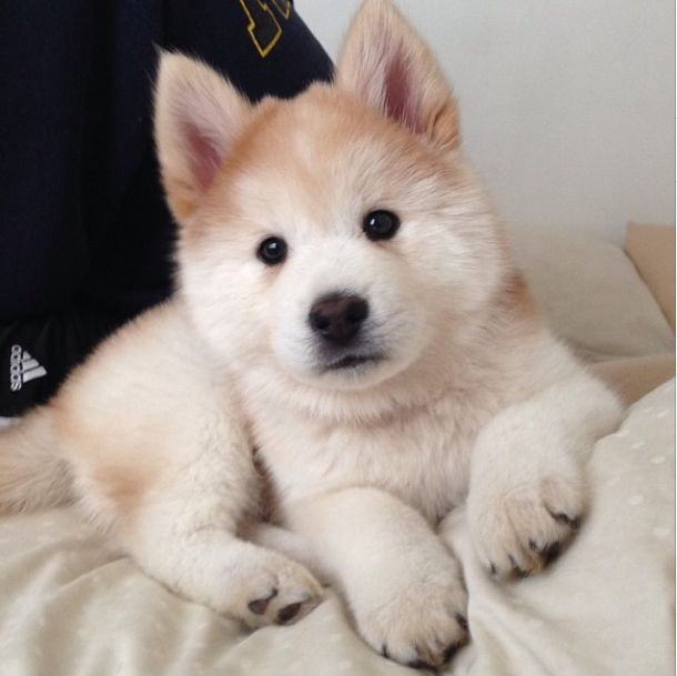 Simba, the chowski (husky/chow mix) - I want one!