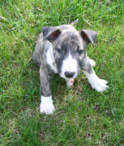 English Brindle Bull Terrier I didn't know they came in Brindle. So adorable!!!