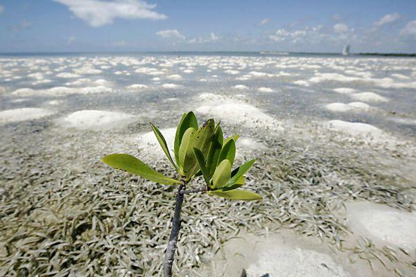 Desert mangroves: stars of carbon sequestration - CSMonitor.com