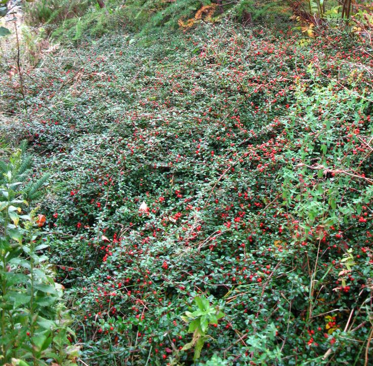 Cotoneaster dammeri 'Coral Beauty'  A evergreen shrub with small, glossy dark green leaves and small white flowers followed by red berries. Fall & winter foliage will have a purple to burgundy tinge.