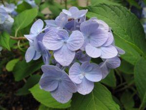 Gambar Bunga Hortensia Biru Keunguan