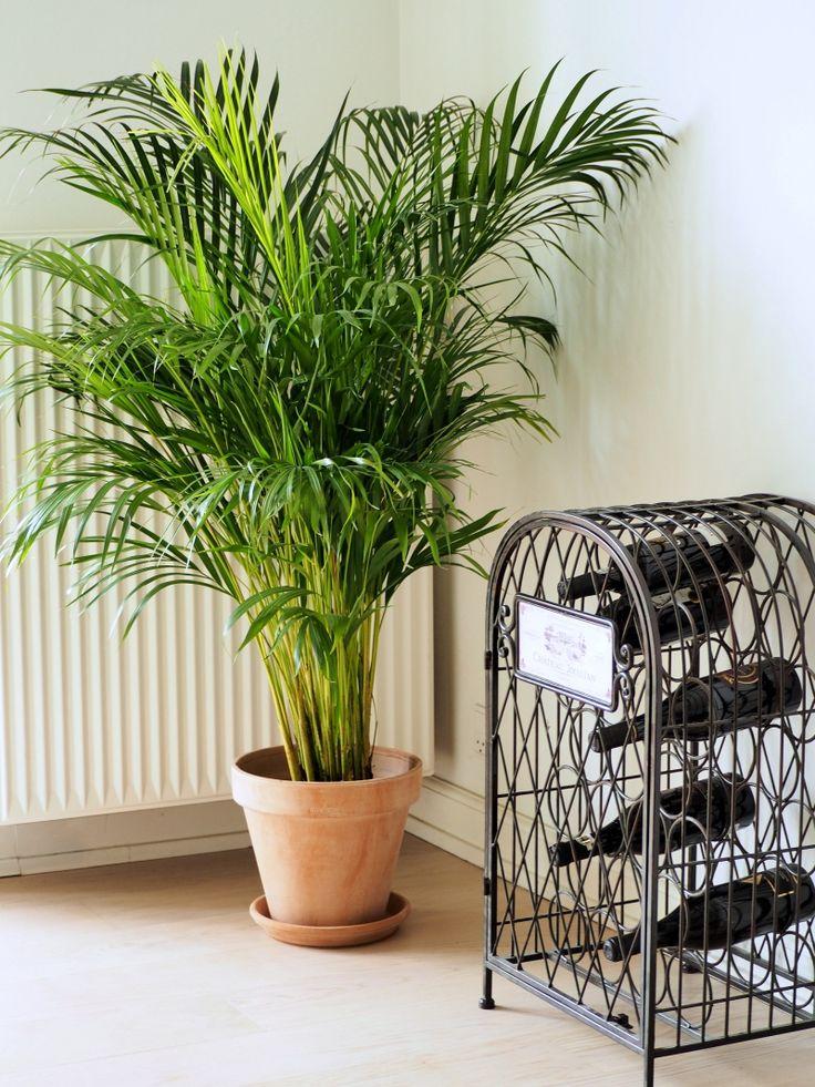 Areca palme - planteguide