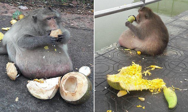 Chunky monkey named 'Uncle Fatty' gorges on tourists' food in Thailand -   An obese monkey in Thailand is being sent to a fat camp after ballooning to twice the normal weight for his species - by gorging on food from touris... See more at https://www.icetrend.com/chunky-monkey-named-uncle-fatty-gorges-on-tourists-food-in-thailand/