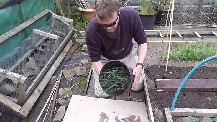 Allotment Diary June 7th : How to grow Leeks  / transplanting Leek plants
