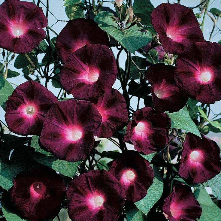 Morning Glory 'Kniolas Black Night'  Ipomoea purpurea, Convolvulus purpureus, Pharbitis purpurea  Half-hardy Annual  An abundance of very attractive purple - black flowers with cerise throats, covering this very vigorous climber. Ideal planted in a sunny situation, up trellis or left to ramble amongst other climbers or shrubs. Climbs to 180-240cm (6-8ft).