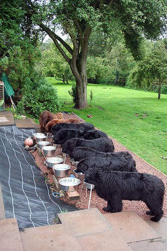 How rich do you have to be to feed 6 Newfies?: Newfies in a row