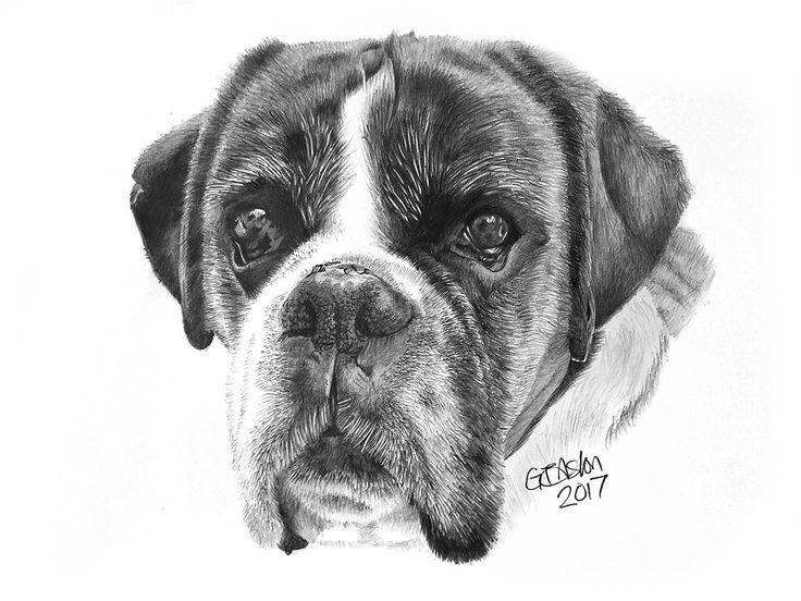 This is a pencil drawing of an elderly boxer dog named Izzy.