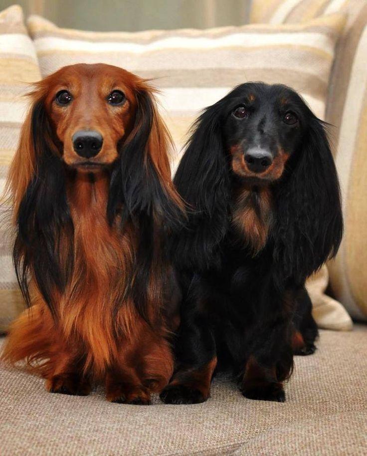 Black Tan Long Haired Dog