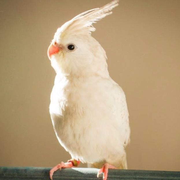 Pin by Sanet Slade on Cockatiels | Pinterest