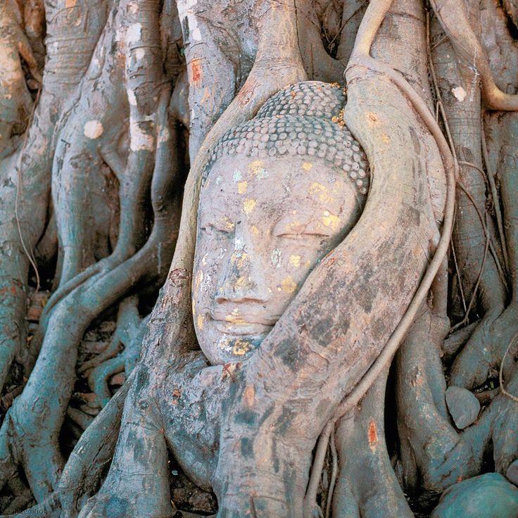 die wurzeln eines gewaltigen banyanbaumes umschlingen den kopf einer buddha statue in der n he. Black Bedroom Furniture Sets. Home Design Ideas