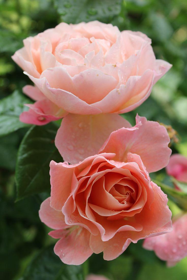 Marie Curie, Floribunda, Shrub Rose | Bred by Meilland International (France, 1997).