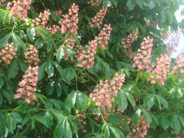 Red Horse-Chestnut blossoms  May 8, 2014