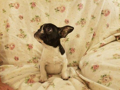 French Bulldog puppy for sale in HOUSTON, TX. ADN-62055 on PuppyFinder.com Gender: Female. Age: 14 Weeks Old