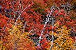 Nirres in autumn