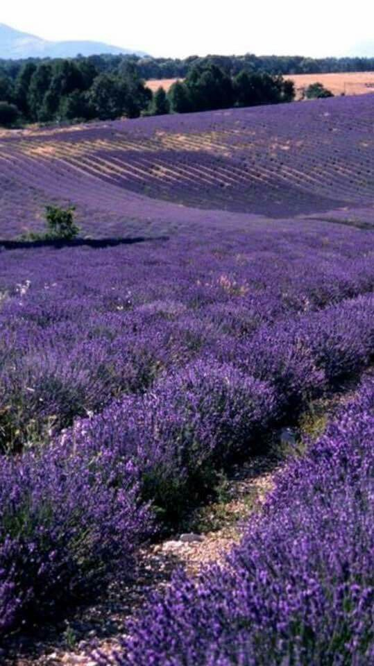 Rolling Hills of Beautiful Lavender