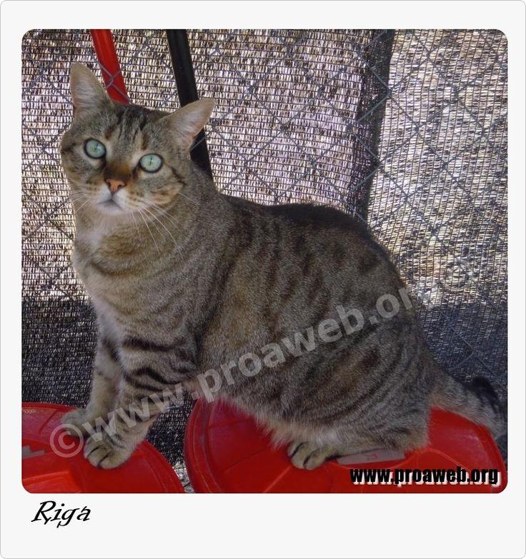 F. Nac: 03/2007 Raza: CE Sexo: Hembra F. entr: 27/05/2008  http://www.proaweb.org/animal_68_RIGA.html  Es cariñosa hasta límites insospechados a pesar de los años que lleva esperando en un albergue...   Todos los gatos de Proa se entregan vacunados, desparasitados, esterilizados, con chip y con contrato de adopción. SOLO en MADRID.  Contacto: adopciones@proaweb.org