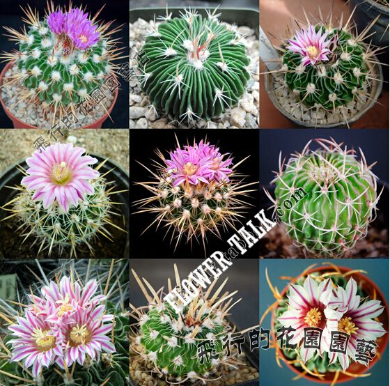 Mix one pack 20 to 40 seeds of mini cactus plants flowering succulent plants bonsai tree succulent seeds for mini home garden
