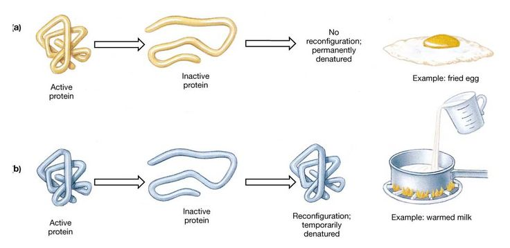 Protein Denaturation.jpg