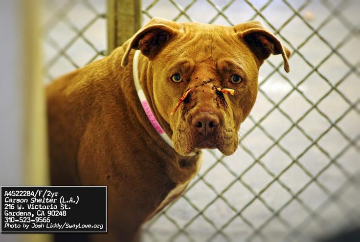 **UPDATE**finding a rescue to save her**LETS ALL MAKE THE HOLIDAYS ABOUT SAVING A LIFE... Look at this poor girl. Abused to die in our shelters. During these times lets saver her life.Lets show her the holidays are about saving animals! Her photo already hasover 1,000.00 in pledges Lets find a rescue to take her in! Carson shelter,CANo:A4522284   IImpound Date12/12/2012   Sex Female Primary Breed:PITBULL   Age:2 Years Location CARSON   Cage #: C120*714-935-6848  mailto:occrocpeti...